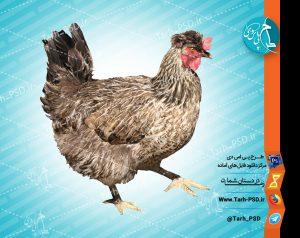 عکس با کیفیت دوربری شده مرغ محلی 001